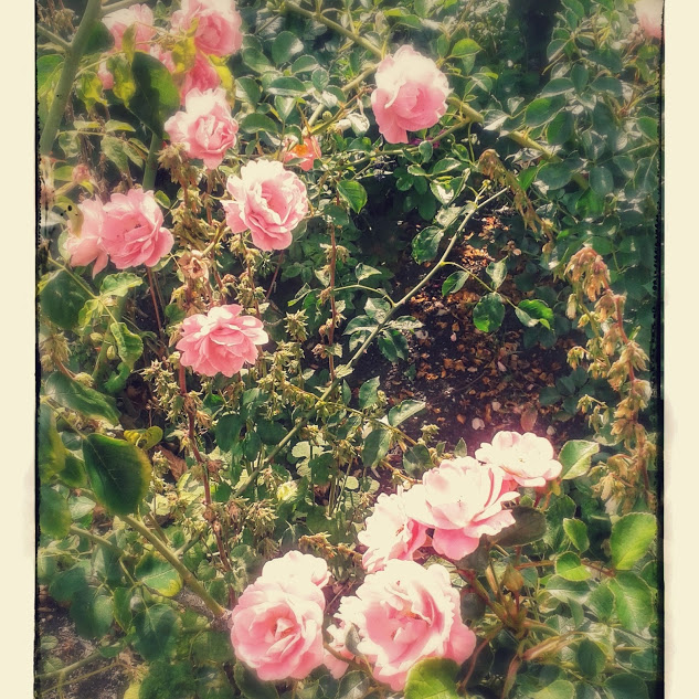 Roses in Hyde Park